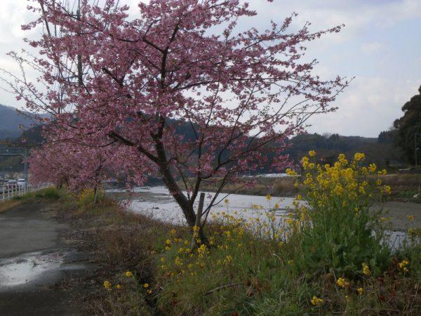 国道502号線の河津桜