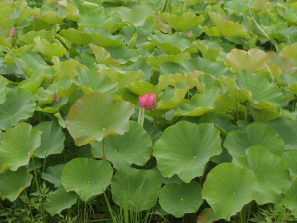 緑の葉っぱの波に浮かんだ第1輪目