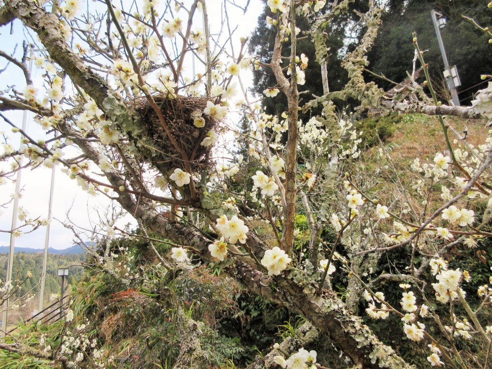 梅の花と鳥の巣