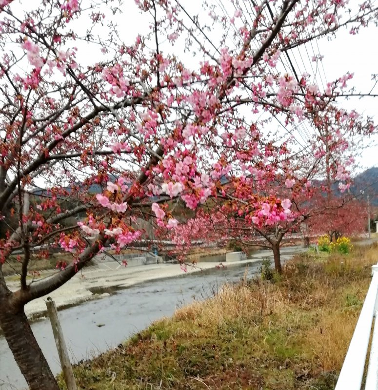 石仏周辺の河津桜
