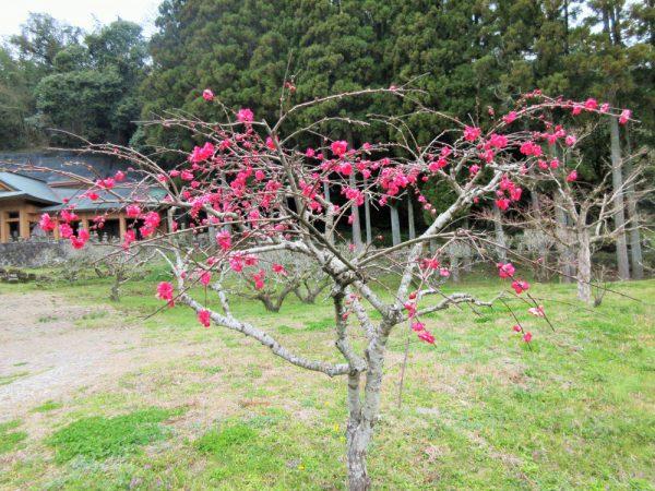 鮮やかな花桃