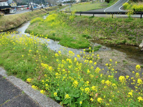 小川に並び立つ菜の花