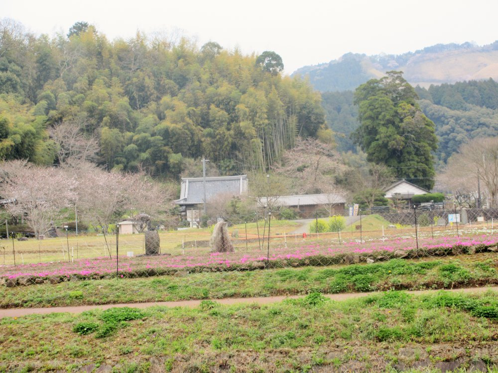 満月寺の桜