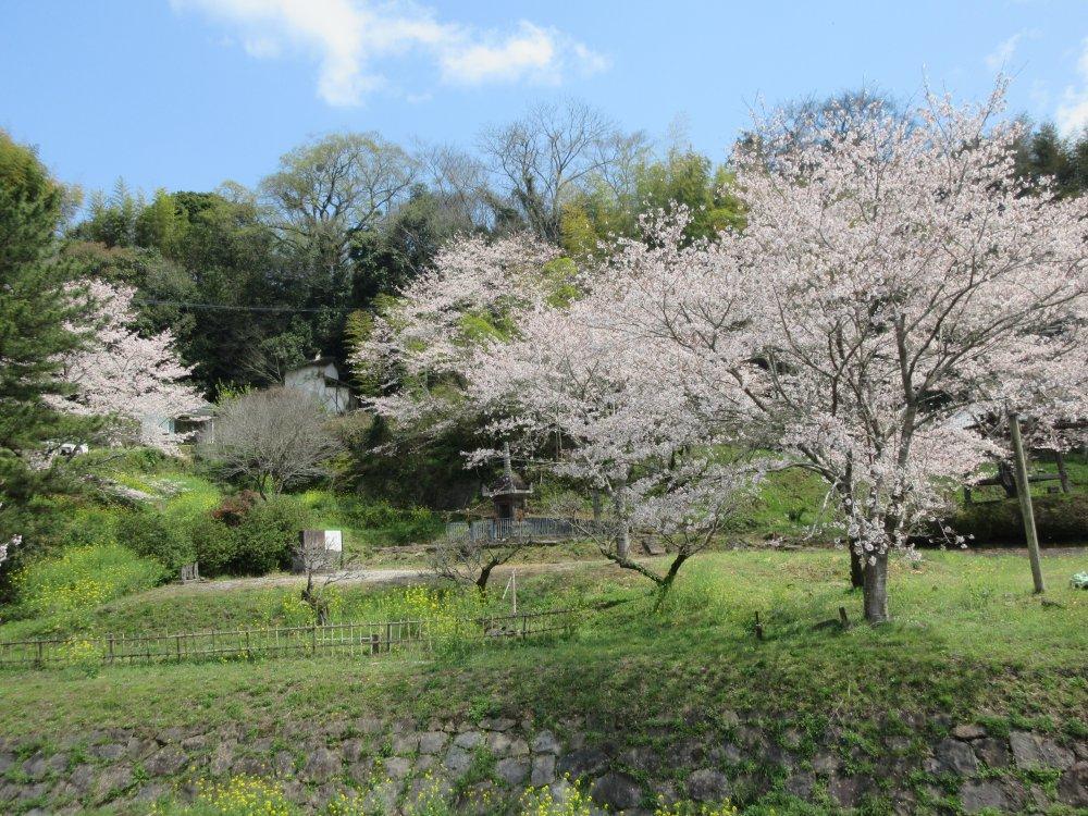 満月寺周辺の桜
