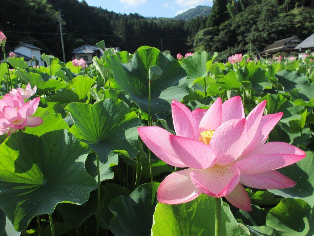青空に咲く大輪の花