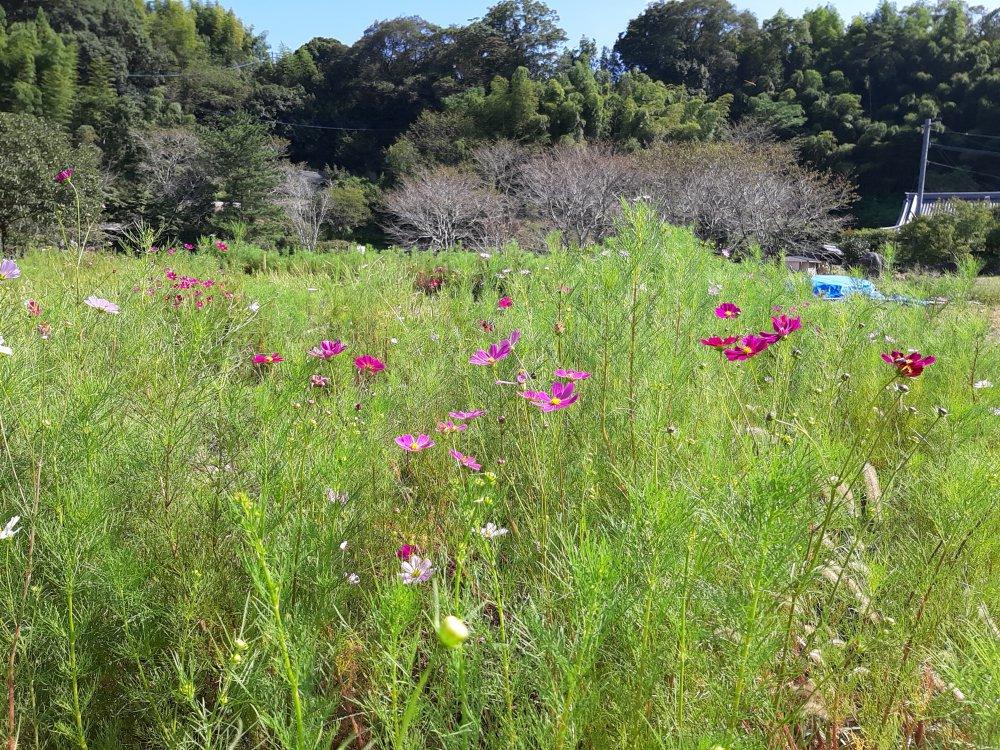 石仏公園のコスモス、咲き始めました