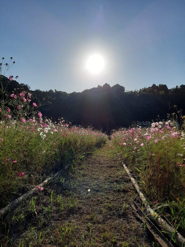 夕日に咲くコスモス