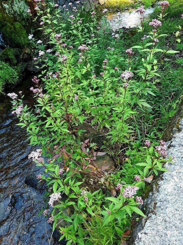 石仏の小川に咲くフジバカマ
