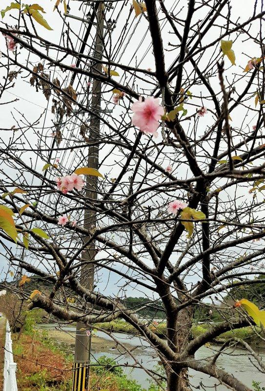河津桜10月