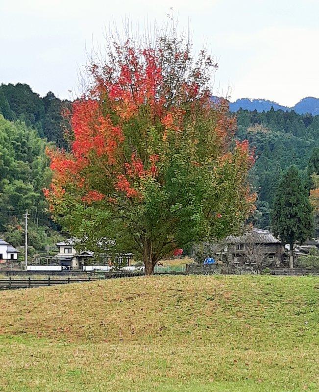 可愛らしい唐楓の木