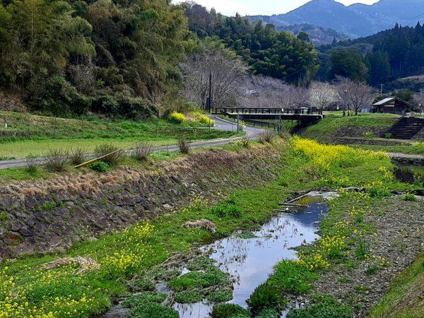 川辺に咲き広がる菜の花