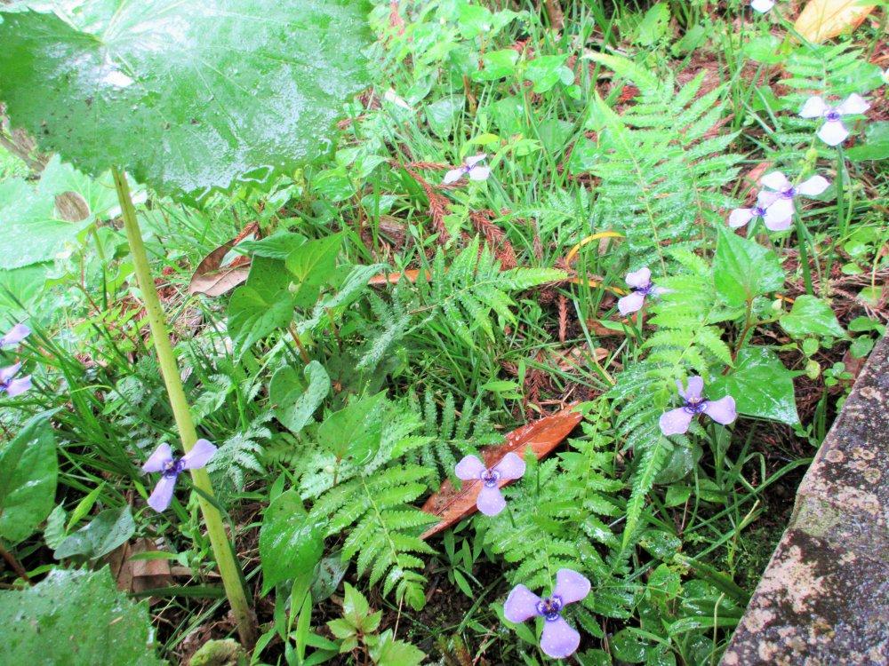 紫陽花や蕗の下に