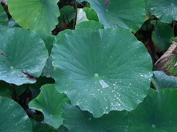 こぼれ落ちそうな雨粒に見る「ロータス効果」