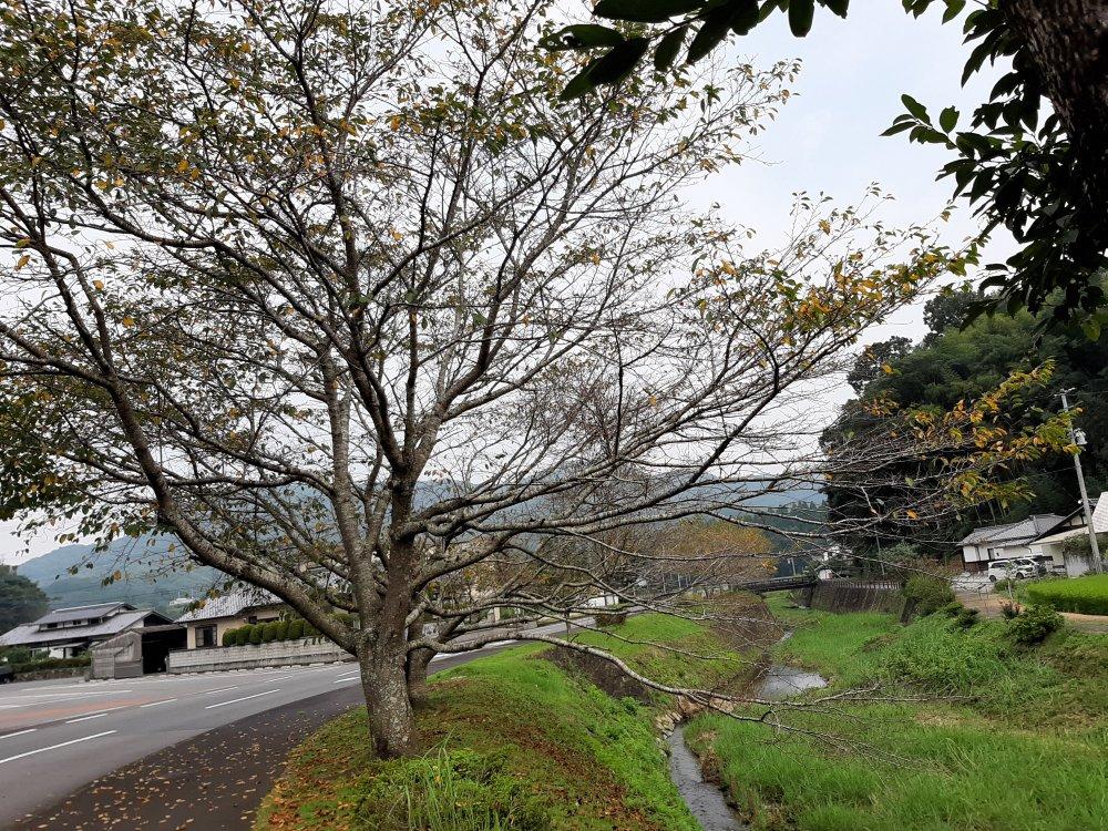 川沿いの桜紅葉
